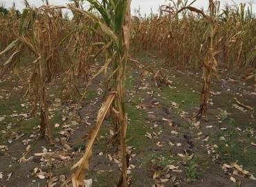 Graves pérdidas por nulas lluvias