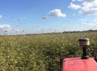 Plaga de langostas invadió los cultivos