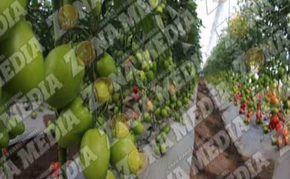 Jitomate de la región es exportado a USA