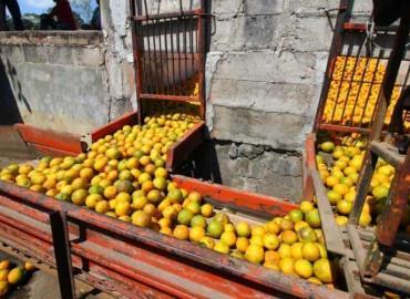 """""""Coyotaje"""" en la venta de naranja"""