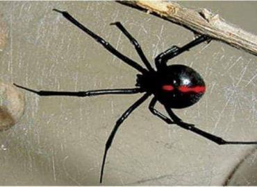 Advierten ante plaga de arañas