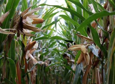 Habrá muy poco maíz se quejan agricultores