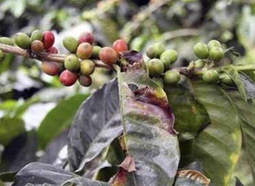 Escaseará el café regional
