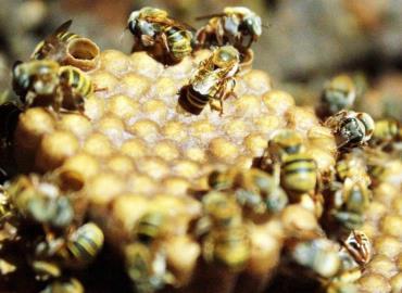 Cambian cría en apicultura