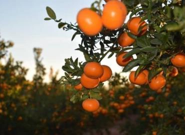 Pérdidas en la mandarina