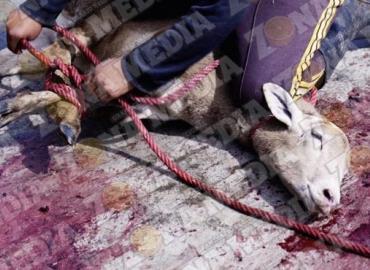 Continúa la matanza clandestina de animales