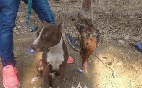 Pitbull mató a una gallina